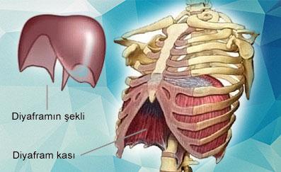 Sesi Oluşturan Organlar Nelerdir – Şan Dersi